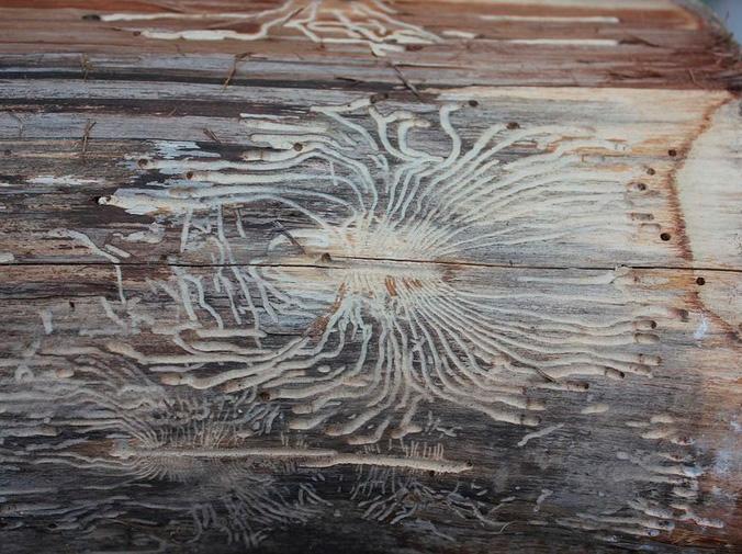 Diferencias entre carcoma y termita